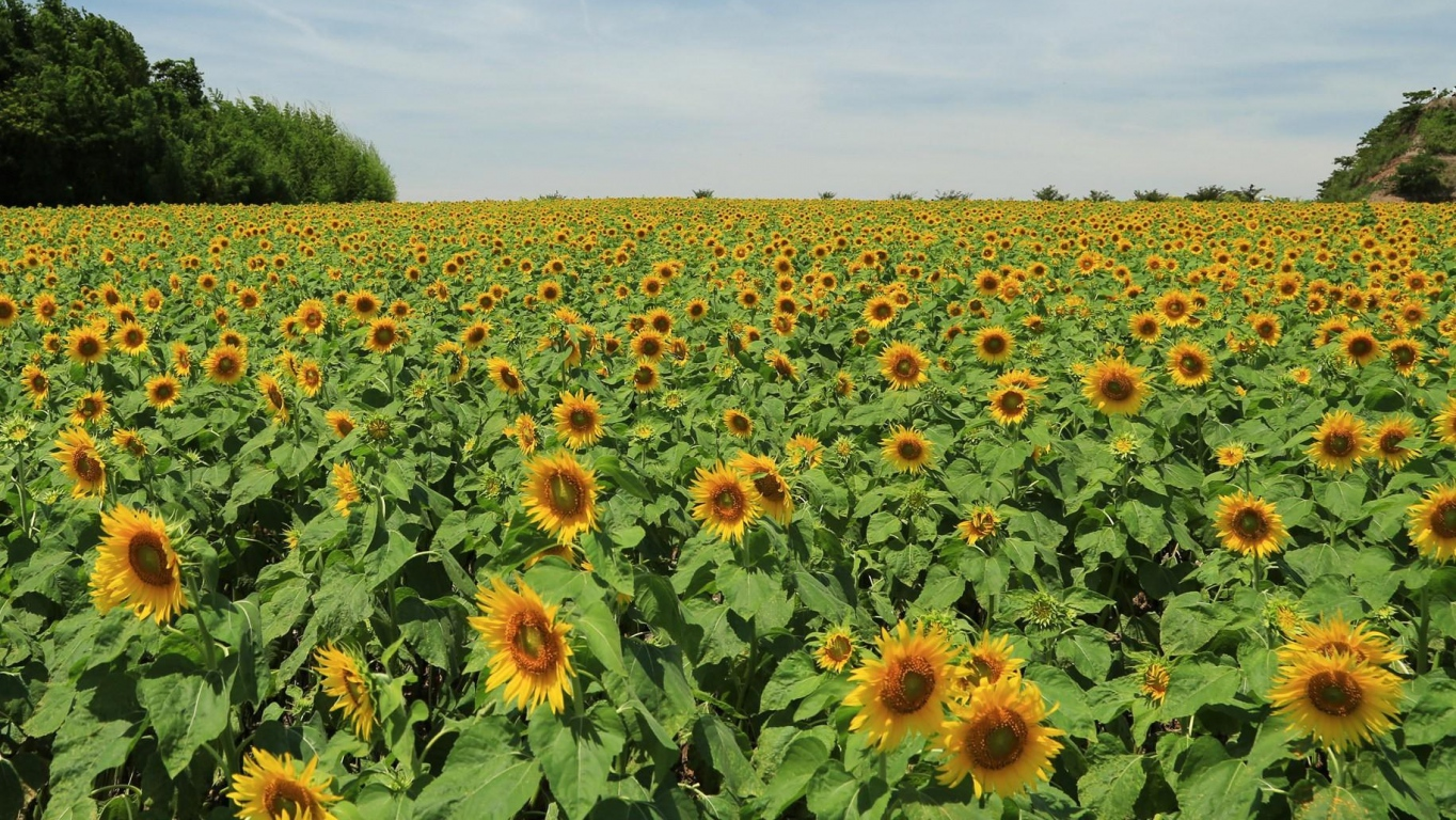download wallpaper sunflowers  many  summer  field  sky