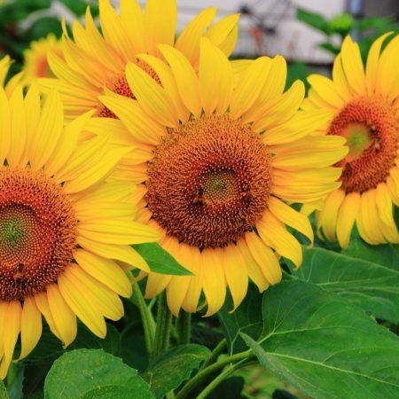 sunflowers, some, summer