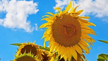 sunflowers, summer, hats