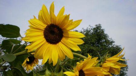 sunflowers, summer, tree