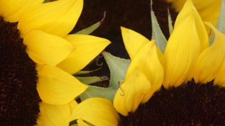 sunflowers, yellow, brown