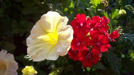surfiniya, verbena, flowers