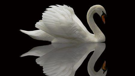 swan, bird, grace