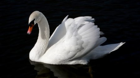 swan, bird, water