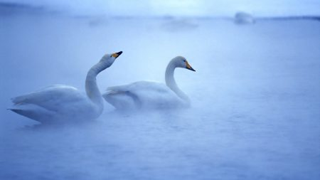 swan, lake, mist