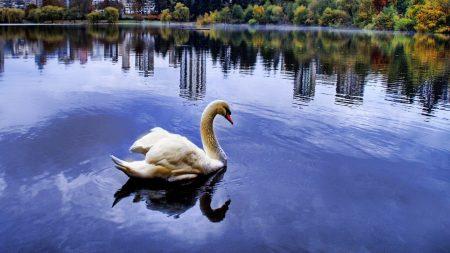 swan, sea, beach