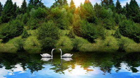 swans, birds, couple