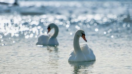 swans, couple, swim
