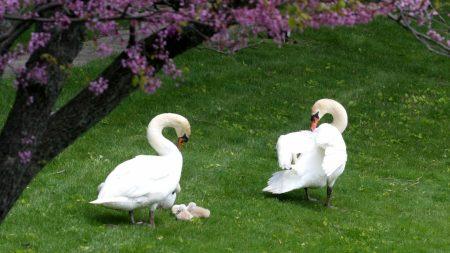 swans, ducks, grass