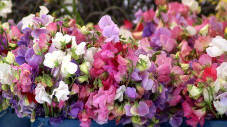 sweet pea, colorful, buckets