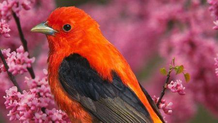 tanagra, bird, branch
