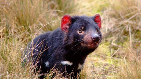 tasmanian devil, marsupial, animal