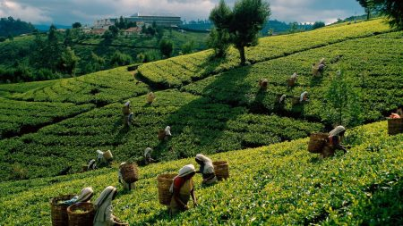 tea, plantations, fields