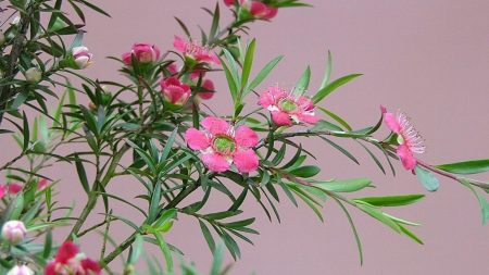 tea tree, flowering, branches