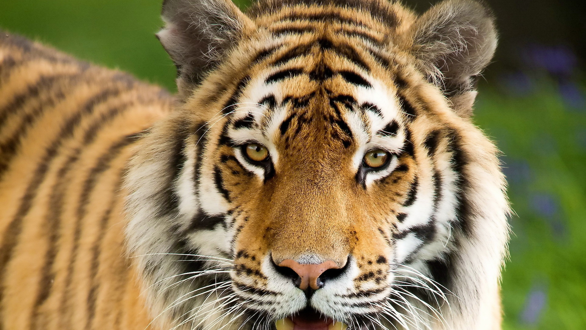 Download Wallpaper 1920x1080 Tiger, Aggression, Face