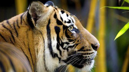 tiger, bamboo, head