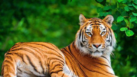tiger, big cat, carnivore