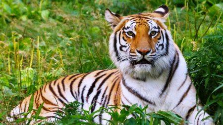 tiger, big cat, grass