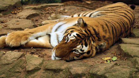 tiger, big cat, lying