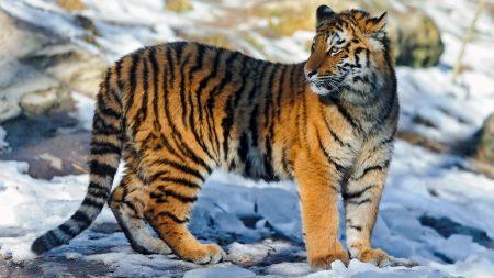 tiger, big cat, snow