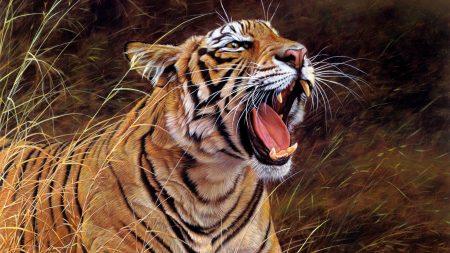 tiger, big cat, teeth