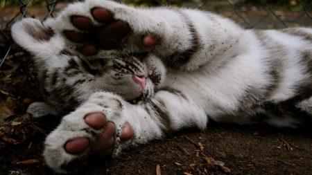 tiger, color, feet