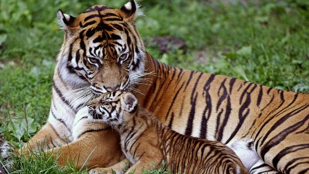 tiger, cub, down