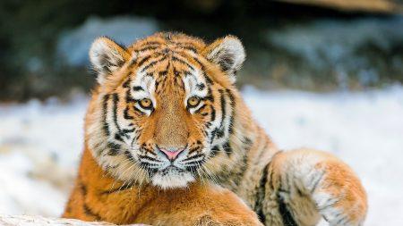 tiger, cub, snout