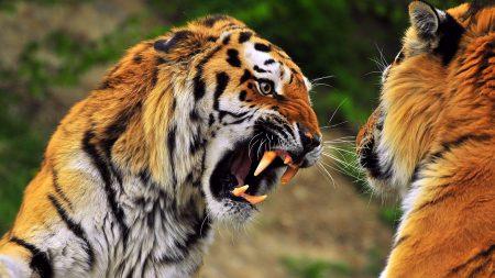 tiger, face, aggression