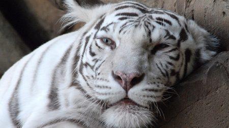tiger, face, albino