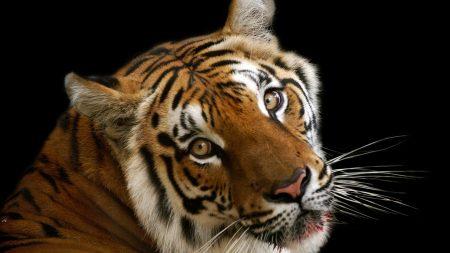 tiger, face, big cat