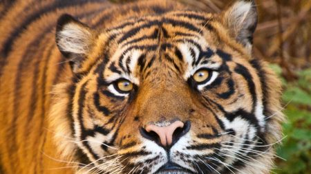 tiger, face, eyes