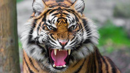 tiger, face, teeth