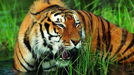tiger, grass, grin
