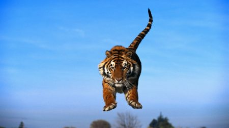 tiger in a jump, blue sky, tiger