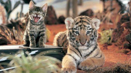 tiger, kitten, cat
