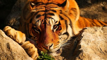 tiger, lying, stones