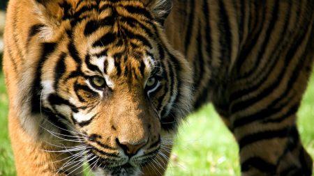 tiger, muzzle, aggression