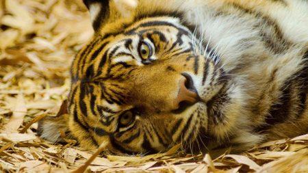 tiger, muzzle, hay