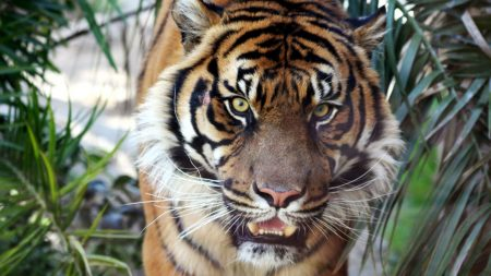 tiger, muzzle, leaves