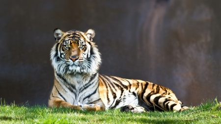 tiger, predator, big cat
