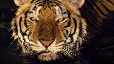 tiger, predator, face