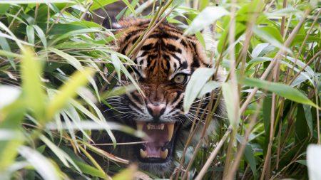 tiger, predator, grass
