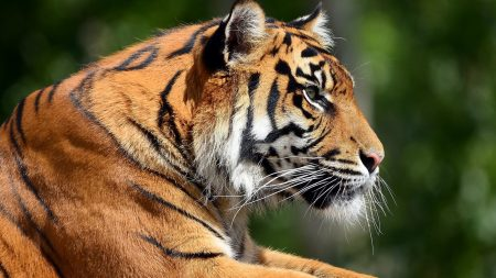 tiger, profile, face