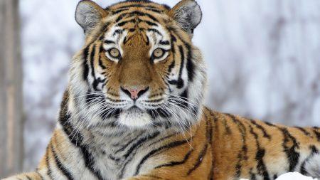tiger, snout, snow