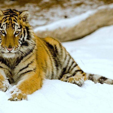 tiger, snow, down