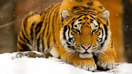 tiger, snow, lie down
