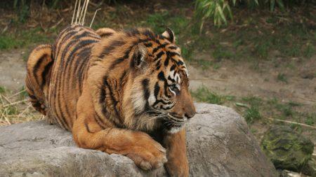 tiger, stone, lie
