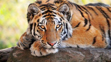 tiger, stone, lying