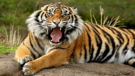 tiger, striped, teeth